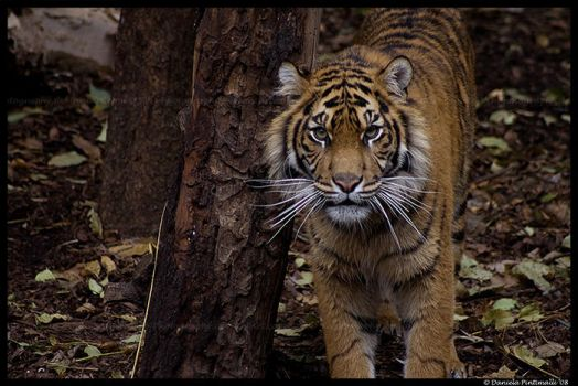 Tiger Portrait by TVD-Photography
