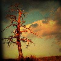 Sunset tree variation by Chironomid