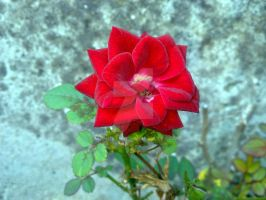 Red rose by mancae90