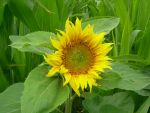 Sunflower in a Field of Corn by VATalbot