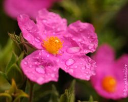 Raindrops on roses by kayaksailor