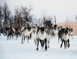 Reindeer rush by Rontolo