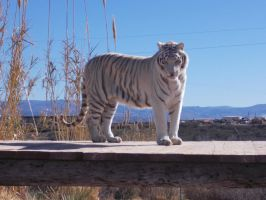 White Tiger Up Close by donna-j