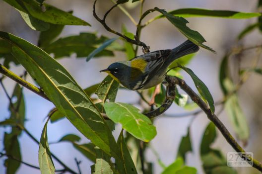 Northern Parula Male by 2753Productions
