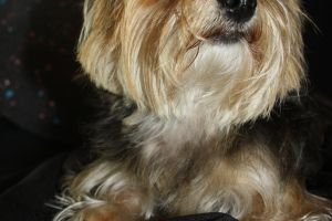 Yorkshire Terrier by mystic-fae