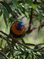 Rainbow Lorikeet by HempHat