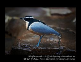 Egyptian Plover by Pale-Recluse