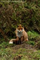 Fox 06 by Alannah-Hawker