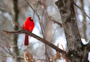 Northern Cardinal by deseonocturno