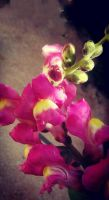Antirrhinum majus by loveautumnandnature