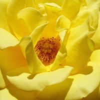 Yellow Rose by rc360