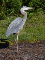 What a Great Blue Heron by Mindwerkz