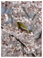 Japan 2012 - Sakura birdy by Corycat