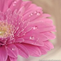 Soft gerbera by FrancescaDelfino