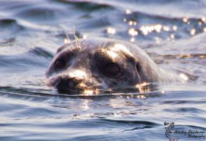 The Seal! by WesHPhotography