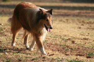Sunset Collie Nineteen by CarissaGagashi