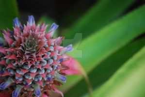 Pineapple blooming 078 by rjsproductions