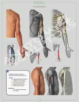 TRICEPS BRACHII MUSCLE by anatomy4sculptors