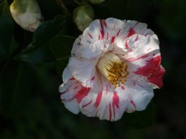 Variegated Camellia Stock 04 by botanystock