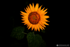 Finally, the sunflower. by Michiru83