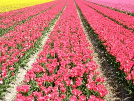 Dutch Tulips III by Jenvanw