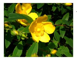 yellow flowers by Maligris