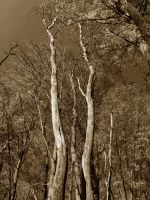 Dual Trees :Sepia: by DJCandiDout