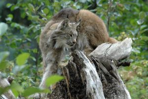 BOBCAT by jchrist04
