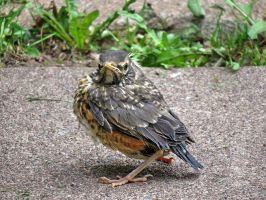 heres one of the baby robin by Nipntuck3