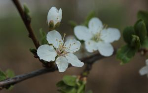 Blossom 13 WP by wuestenbrand