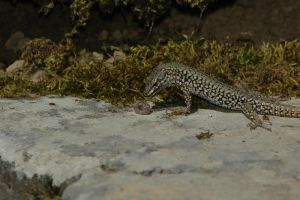 Skink continues with lunch by turlough