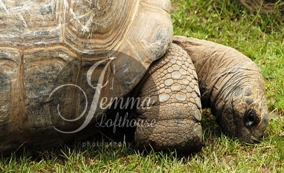 tortoise. by jemlouisephotography
