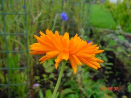 Marigold Profile in Front Garden by SrTw