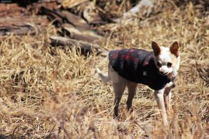150530 Chihuahua in a Sweater by TalizmynVox