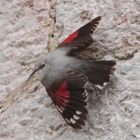 Wall creeper by Jamie-MacArthur