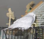 Sleepy White Budgie 2 by Windthin