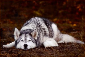 .:Autumn 'Teddy' Husky:. by WhiteSpiritWolf