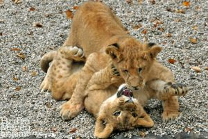 Cub Fight1 by brijome