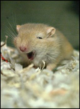 Yawning Gerbil Pup. by ElectedTheRejected