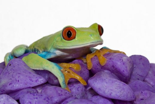 Green frog on purple gravel by AngiWallace