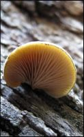 Crepidotus sp by greenzaku