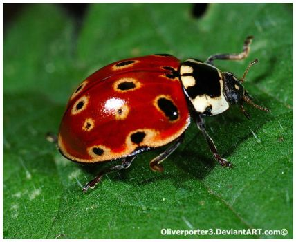 Eyed Ladybird by oliverporter3