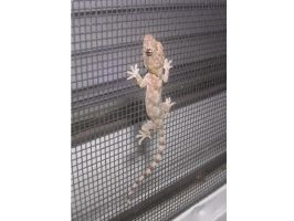 Gecko on my window version 2 by insectmaster