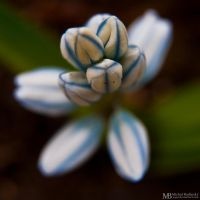 Blue-White flower by Yupa