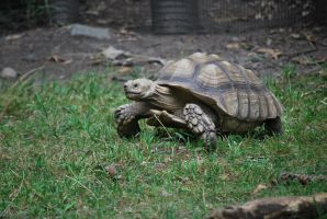 spur-thighed tortoise 1.3 by meihua-stock