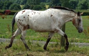 Appaloosa 2 by DappledLightStock