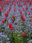 Red Tulips by gold-rose
