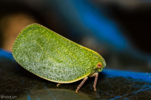 Green treehopper? by CyclicalCore