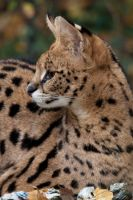 0056 - Serval by Jay-Co