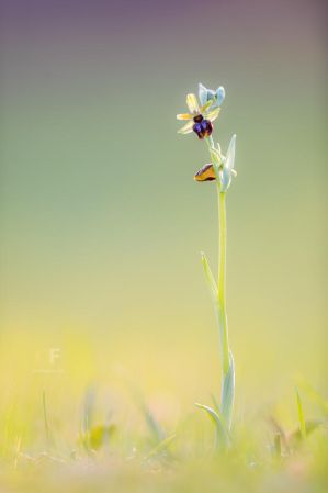 Ophrys Sphegodes III by mescamesh